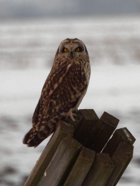 Short-eared Owl  - Tomasz Gogołek