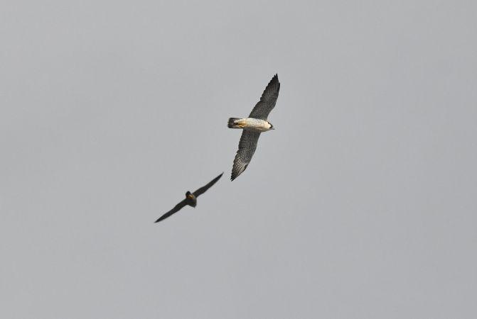 Peregrine Falcon  - Iwona Górska