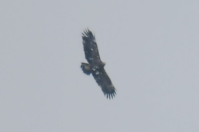 Greater Spotted Eagle  - Piotr Kunowski