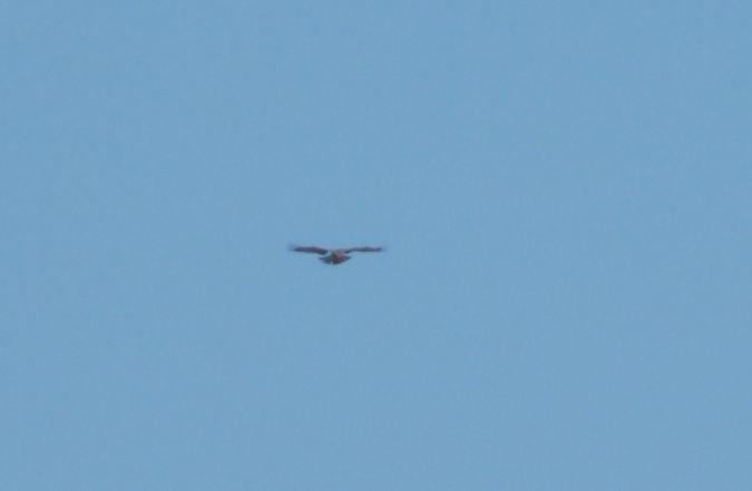Short-toed Snake Eagle  - Sławomir Niedźwiecki