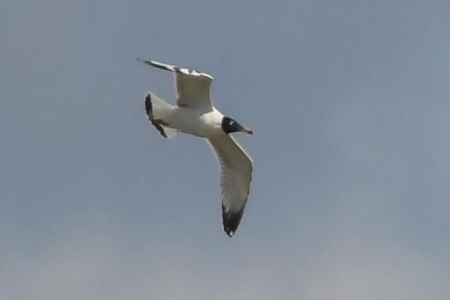 Great Black-headed Gull  - Daniel Stasiowski