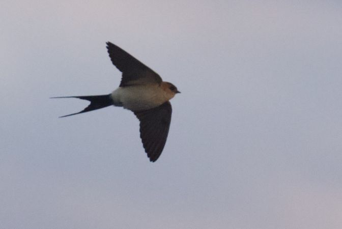 Red-rumped Swallow  - Świtała Tymon