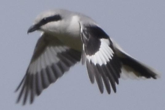 Great Grey Shrike (L.e.homeyeri)  - Mikołaj Rowicki