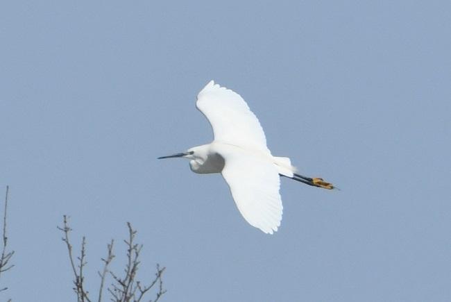 Little Egret  - Krystian Jainta