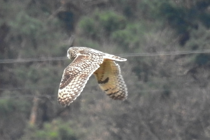 Short-eared Owl  - Wiktor Kroker