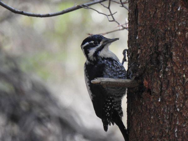Eurasian Three-toed Woodpecker  - Stanisław Broński