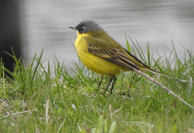 Western Yellow Wagtail (M.f.thunbergi)  - Magdalena Traciłowska