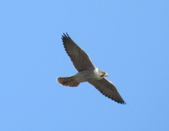 Peregrine Falcon  - Robert Wakulski