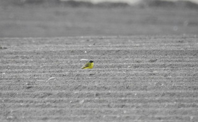 Western Yellow Wagtail (M.f.thunbergi)  - Samuel Odrzykoski