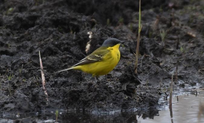 Western Yellow Wagtail (M.f.thunbergi)  - Andreas Graversen
