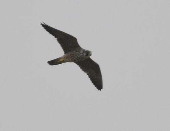 Peregrine Falcon  - Andreas Graversen