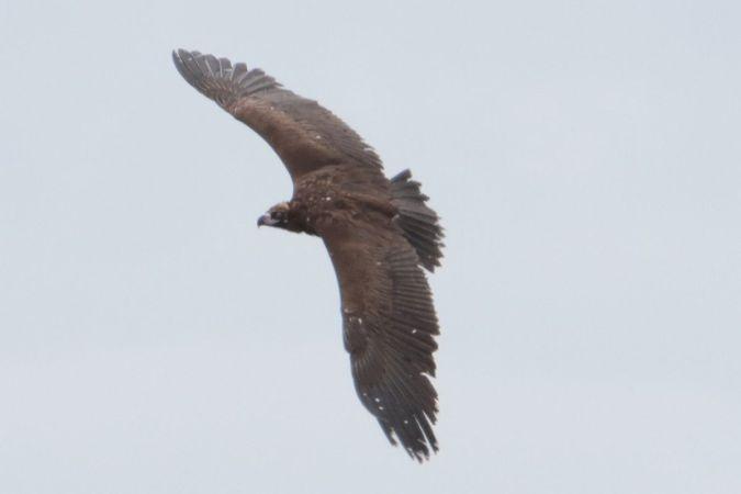 Eurasian Black Vulture  - Mariusz Zub