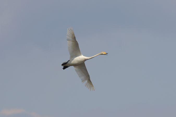 Whooper Swan  - Marcin Dec
