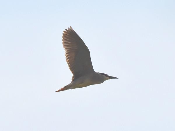 Black-crowned Night Heron  - Tomasz Kosut