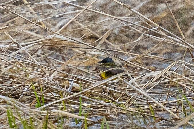 Western Yellow Wagtail (M.f.thunbergi)  - Grzegorz Błachuta