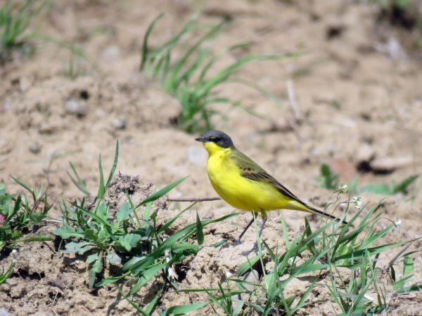 Western Yellow Wagtail (M.f.thunbergi)  - Zenon Niziołek
