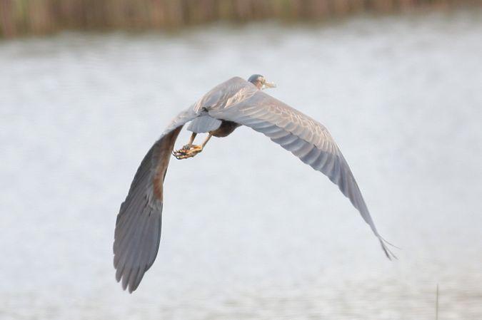 Purple Heron  - Dorota Bezwińska Sikora