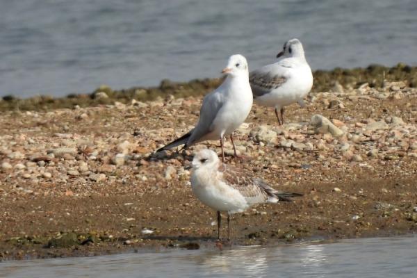 Mediterranean Gull  - Leszek Noga