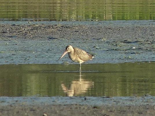 Bar-tailed Godwit  - Tomasz Kosut