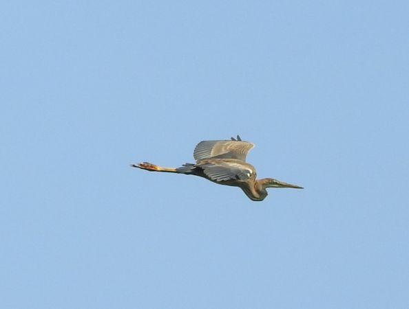 Purple Heron  - Waldemar Gustaw