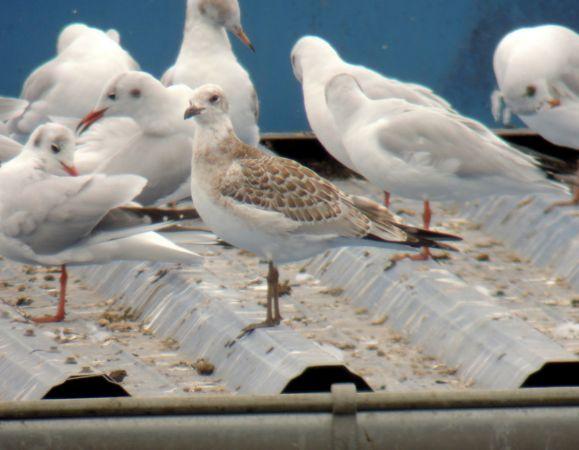 Mediterranean Gull  - Sobieraj Maciej