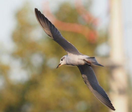 Gull-billed Tern  - Sławomir Niedźwiecki