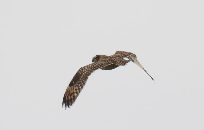 Short-eared Owl  - Szymon Beuch