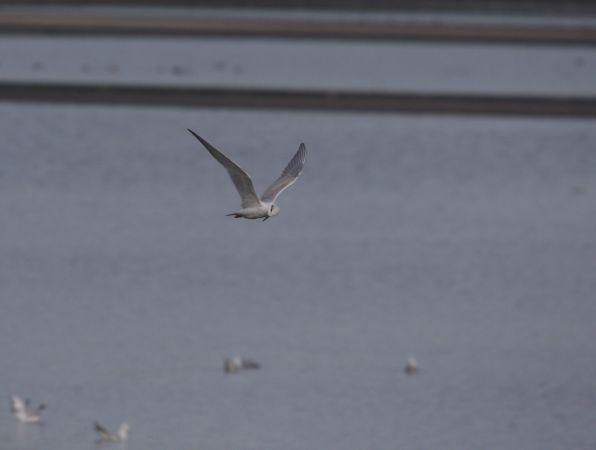 Gull-billed Tern  - Bogusław Czerwiński