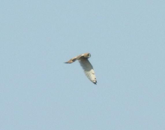 Short-eared Owl  - Robert Wakulski