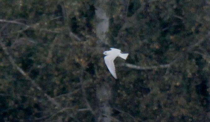 Gull-billed Tern  - Jarosław Stalenga