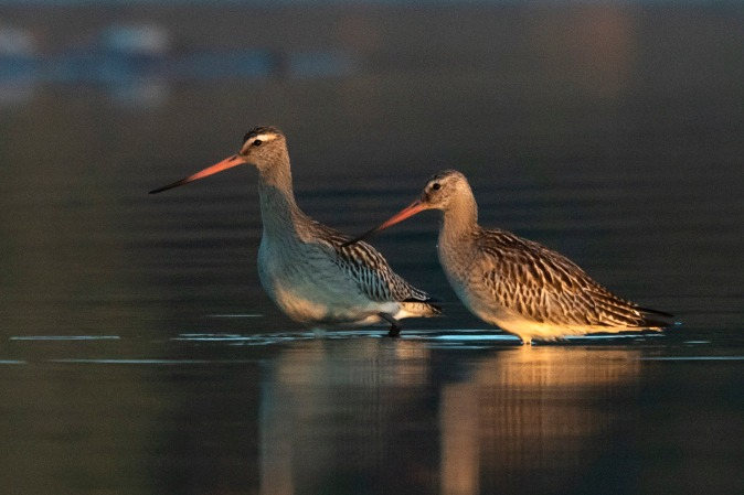 Bar-tailed Godwit  - Andrzej Kitowski