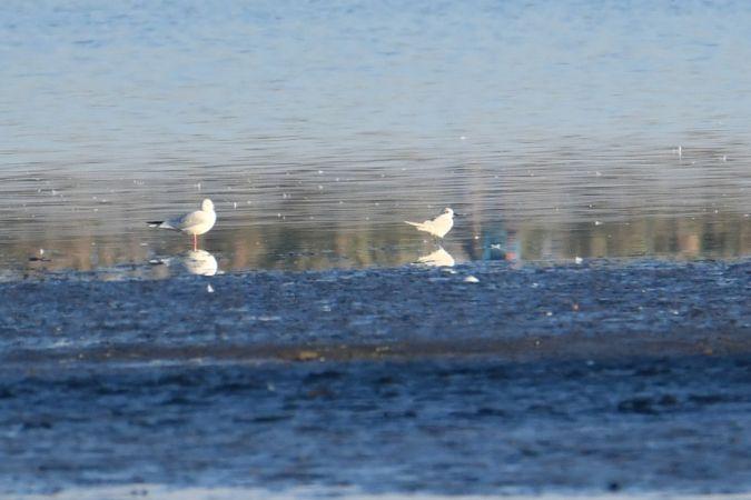 Gull-billed Tern  - Krzysiek Haja