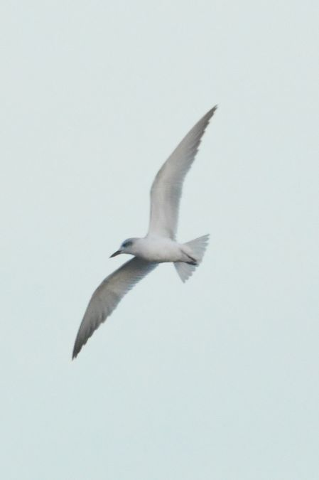 Gull-billed Tern  - Krystian Jainta