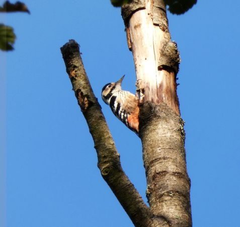 White-backed Woodpecker  - Dorothea Koch