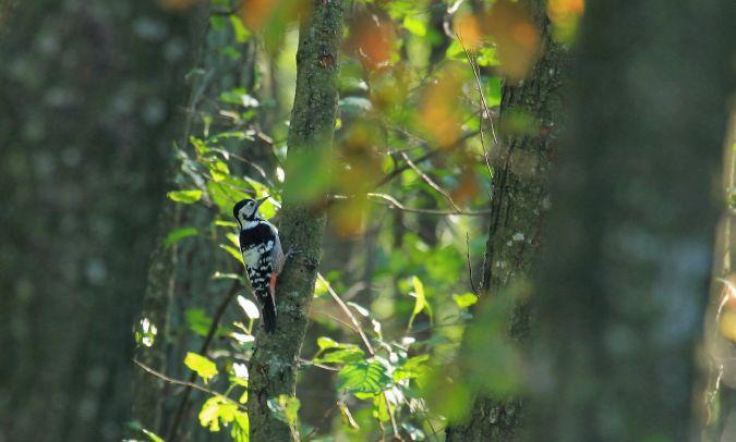 White-backed Woodpecker  - Tomasz Kulakowski